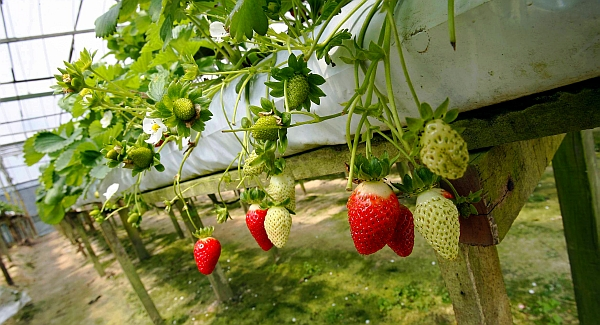 cameron-highlands-strawberries
