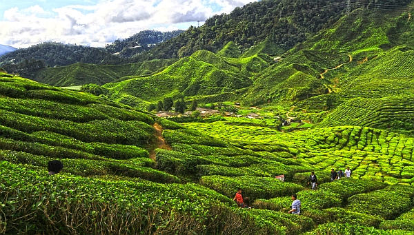 cameron-highlands-tea